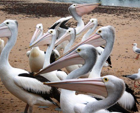 pelicans-259705_1920 (Large)